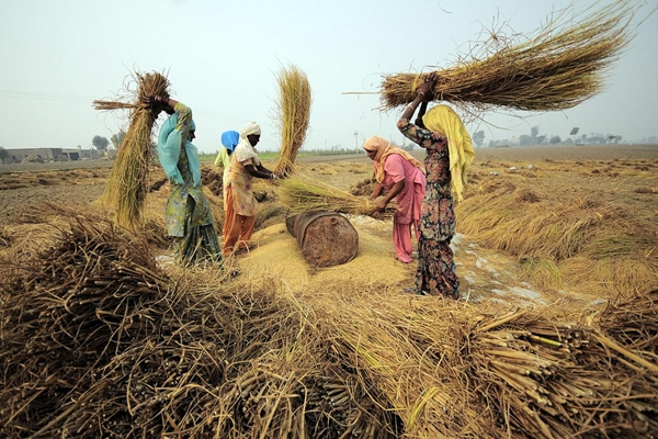 Agricultural workers threshing rice near Sangrur in Punjab. Flickr / Neil Palmer (CIAT)