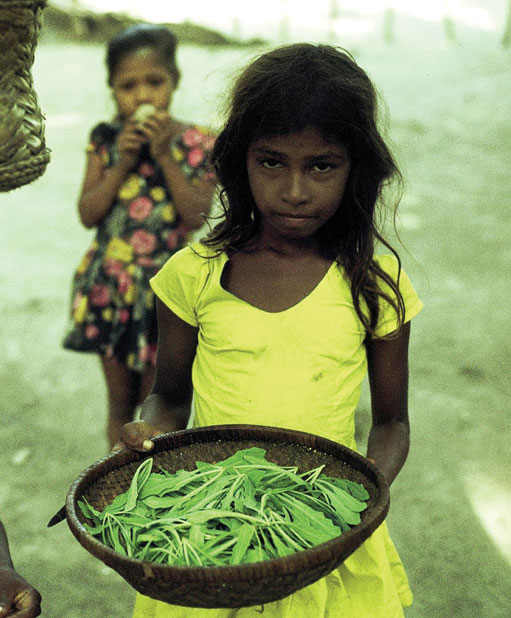 A girl with a harvest of kullafila leaves. Like in most traditional Asian cultures it was customary to send children to look for food. Kullafila (Launaea sarmentosa) grows in sandy terrain and is one of the most valued traditional greens in Maldivian cuisine. Fua Mulaku, 1977. All photos: Nils Finn Munch-Petersen