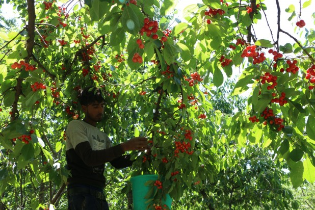 Picking cherries from trees needs an expert hand to handle the very delicate job.